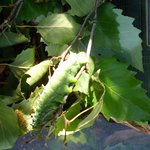 Large Caterpillar (Birch Trees hate these critters).