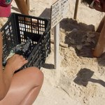 Every night they release sea turtles into the Ocean during the day they dig up the hatchlings
