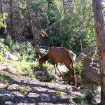 Bear Lake elk.