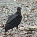 Vulture sharing the beach