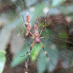 Orb spider - walking the grounds