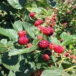 Fresh blackberries for the picking