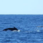 Whales diving