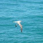 Albatross.