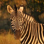 Zebra at sunset
