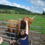 Feeding a Hairy Coo