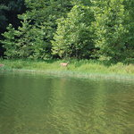 a deer drinking at the Green Bo Marina