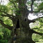 The Majesty Oak in Nonington