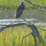 One of several different Herons