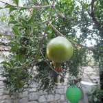 Pomegranate tree in court yard where breakfast is served