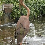 The fabulous heron statue in the pond