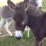 the resident - and very friendly - donkeys