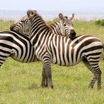 zebra in each others shade