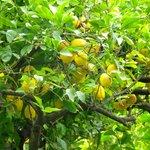 Zitronenbäume im Agriturismo