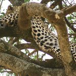 Leopard relaxes in a tree