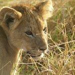 Gorgeous lion cub
