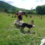 Sheep sheering demonstration