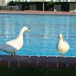 The friendly ducks