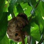Baru Baby Sloth
