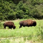Bison pasture near Travertine nature center