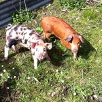 pinky & perky when piglets