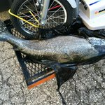 Salmon showing in Warren's parking lot ; )