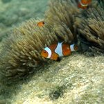 Clown fish right at resort beach front