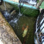 Koi fish waiting to die, they need more space than this pond!