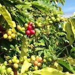 Coffee beans on COH plantation