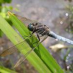 Keeled Skimmer, Hothfield Heathlands