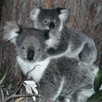 The Myall Lakes National Park is famous for its koalas, whale watching, birdlife and dolphins.
