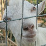 Прекрасное развлечение для всей семьи- кормление коз