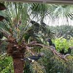 Trumpeter Hornbills in tree by breakfast area