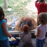 Up close with a few sleepy Orangutans