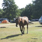 Ponies wander freely around the site