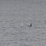 Pair of Orcas off Cantick Head (morning)