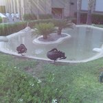 Black Swans by the Adult Pool