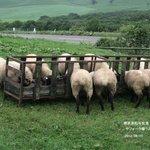 多和平のサフォーク子羊