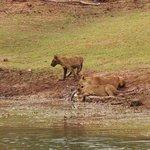 Lion feeding on a croc they killed