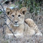 1 of the cute lion cubs