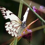 Butterfly Hotspot