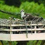 Resident Ospreys