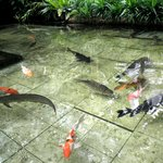 Fish pond with Koi and Arowana