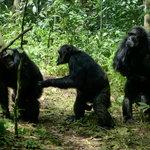 Chimps walking around