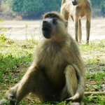 Monkeys at Thornicroft