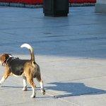 a happy beagle trotting along