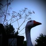 one of the geese!