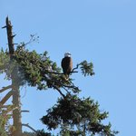 bald eagle we saw from the patio