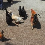 Ducks & chicken in animal petting area