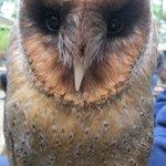Jacko the black faced barn owl